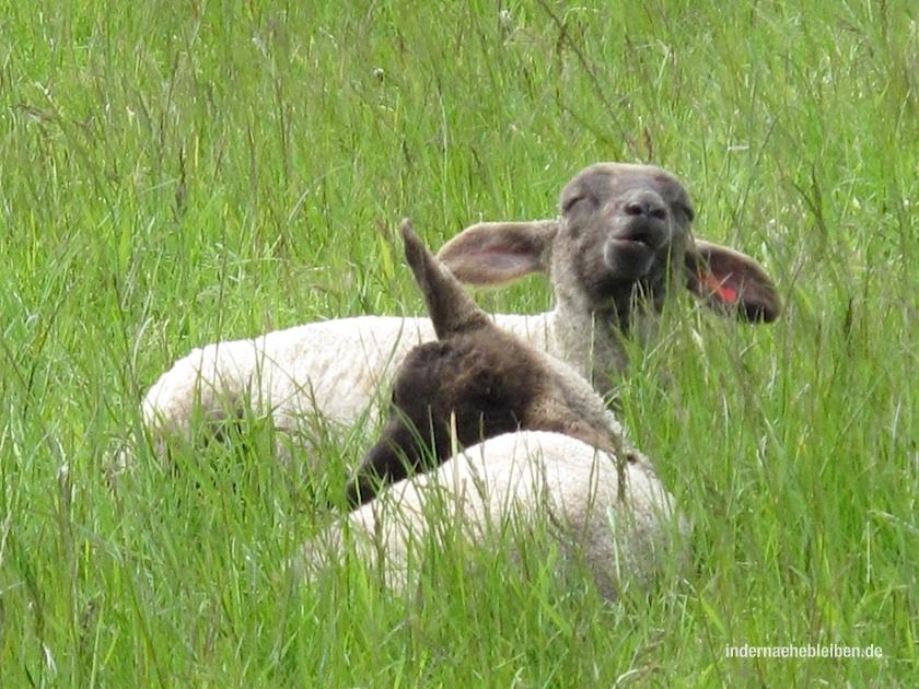 Die Schafe von Falshoeft sind ausgesprochen fröhlich. Denn hier beginnt die Geltinger Birk. Und davon erzähle ich dann nächstes Mal.