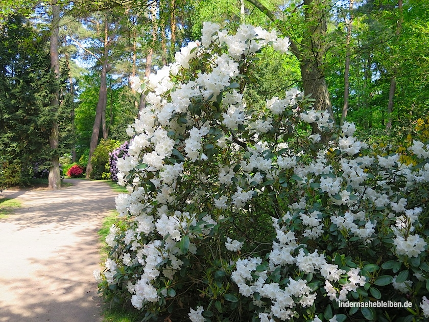 Stadtpark Rhododendron