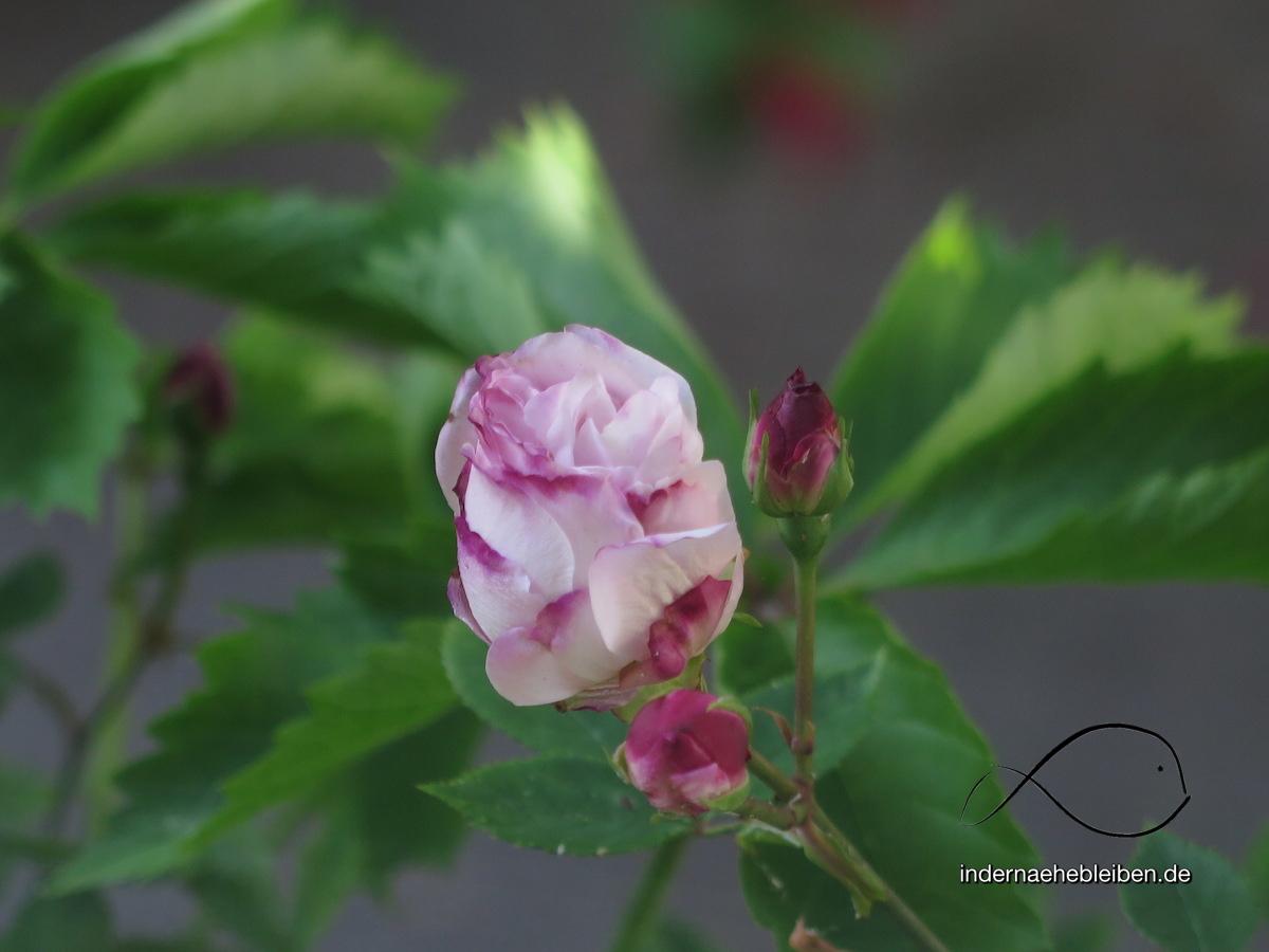Begegnung mit Rosen